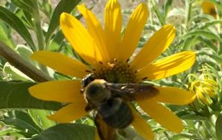 Bumble bee gathering pollen