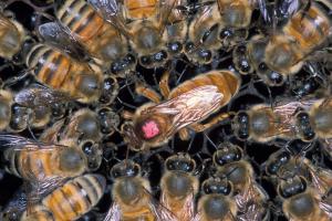 Marked queen bee