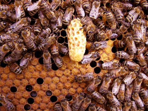 Queen cell, also called a swarm cell or a supercedure cell.